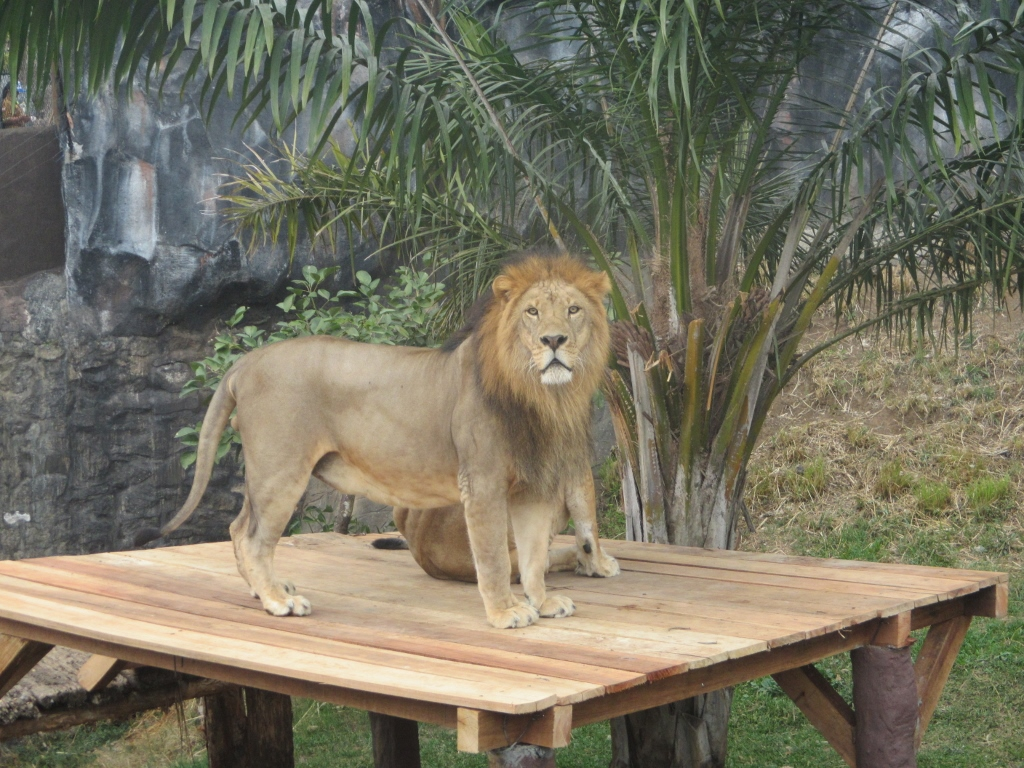 king of the jungle, lion